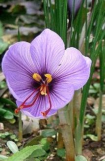 saffron | I See You SeeKashmiri Saffron Bulbs