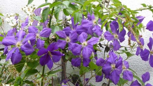Clematis in the garden.