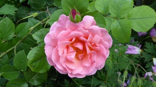 """Lilian Austin"" Rose (1973)"