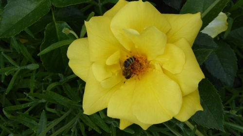 A bee finds this yellow rose too hard to resist!