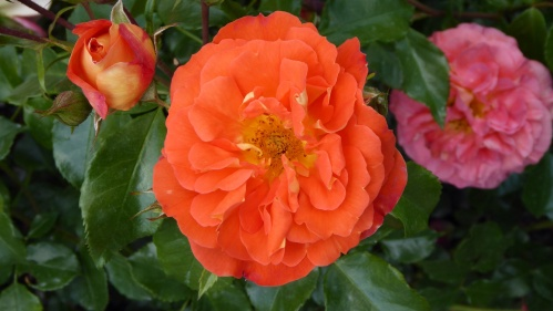 This bright orange rose changes colour as it ages and fades.