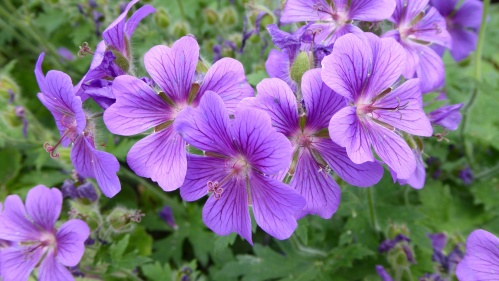 Geraniums as border plants.