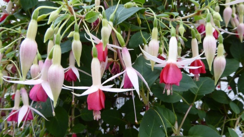 A very old fuchsia