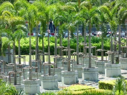 An eye catching bank of Palm trees