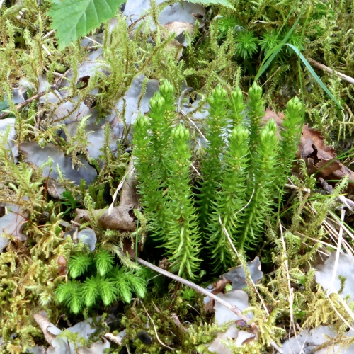 Lycopodium selago Fir Clubmoss © DY of jtdytravels; P1100203