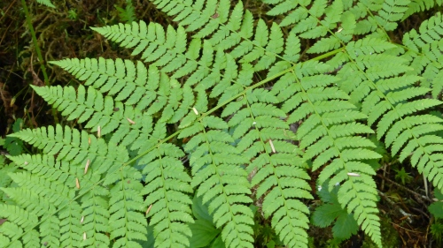 Fern © DY  of  jtdytravels; P1100397