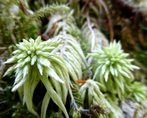Sphagnum squarrosum © DY  of  jtdytravels; P1100418