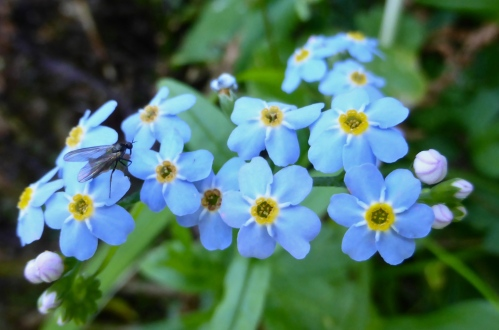 Myosotis sp. ©  DY  of  jtdytravels; P1100522