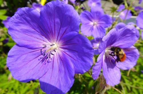 A delightful geranium © JT  of jtdytravels; P1130440