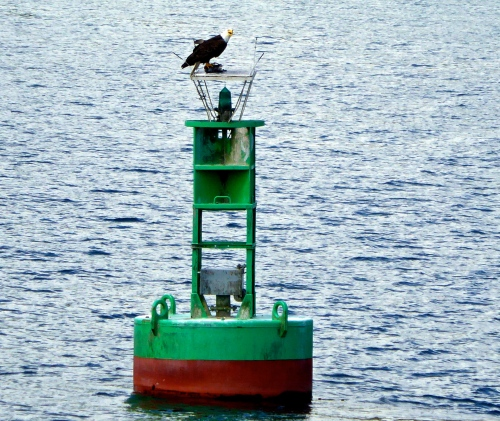 Eagle on navigation buoy in harbour ©  JT  of  jtdytravels; P1130780