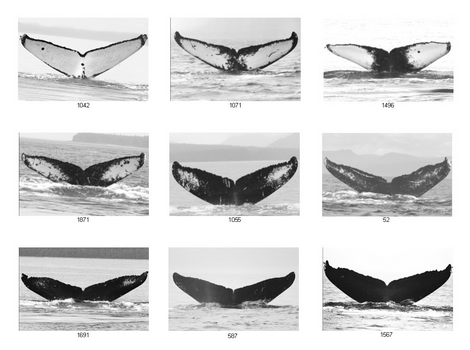 Whale Fluke Patterns