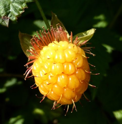 Rubus spectabilis ©  DY  of  jtdytravels; P1100551