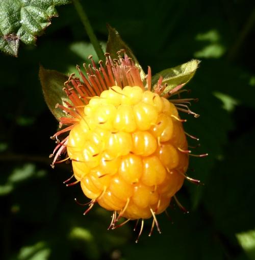 Rubus spectabilis ©  DY  of  jtdytravels; P1100551