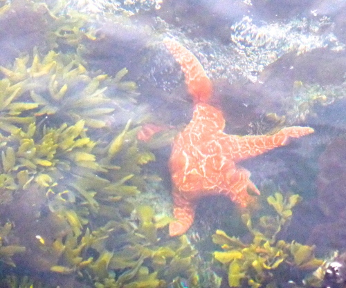 Starfish in rock pool © DY of jtdytravels; P1110248