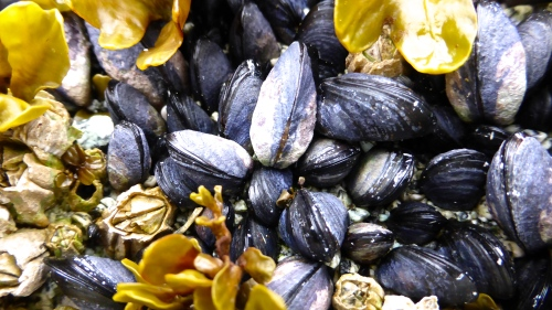Mussels, Barnacles and Rockweed © DY of jtdytravels; P1110337