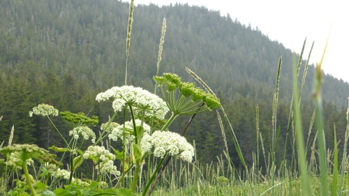 Heracleum lanatum © DY of jtdytravels; P1110454