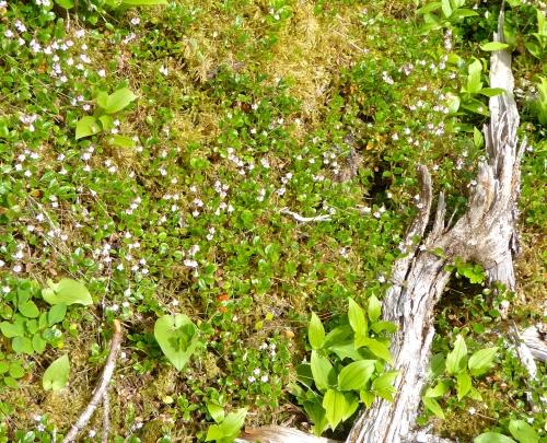 Linnaea borealis ©  JT  of  jtdytravels; P1130873