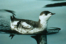 Marbled murrelet (courtesy Wikepedia)